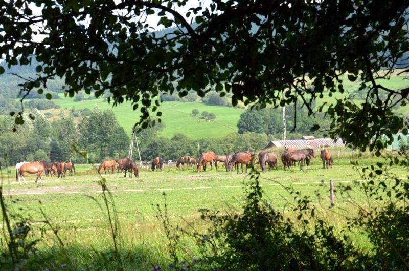 regietów stadnina koni huculskich (6)