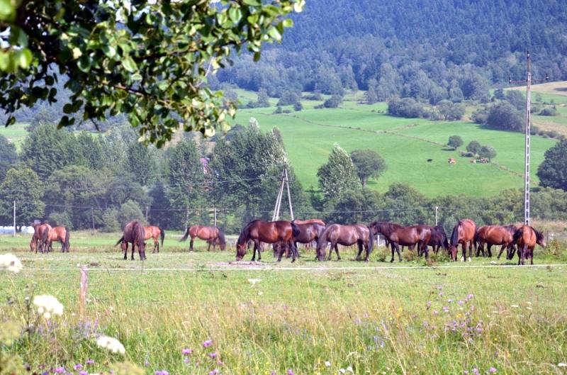 regietów stadnina koni huculskich (7)