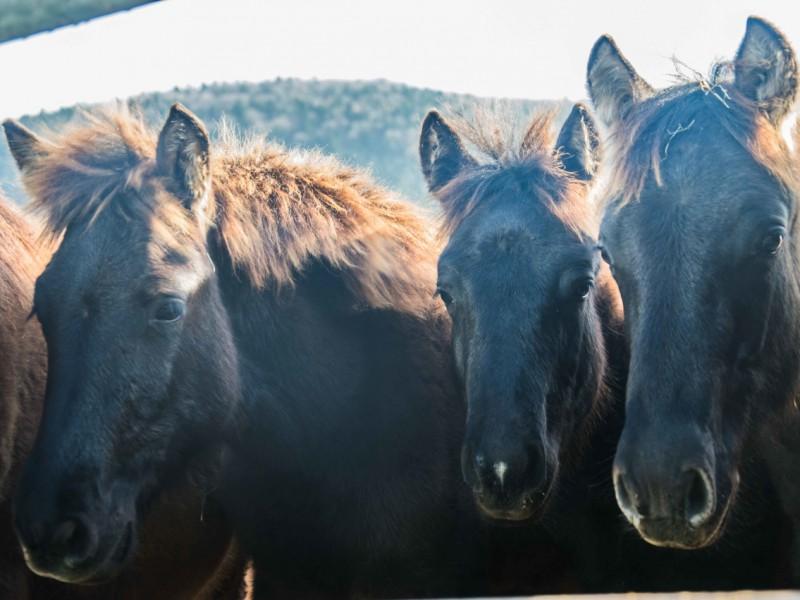 stadnina koni huculskich (20)