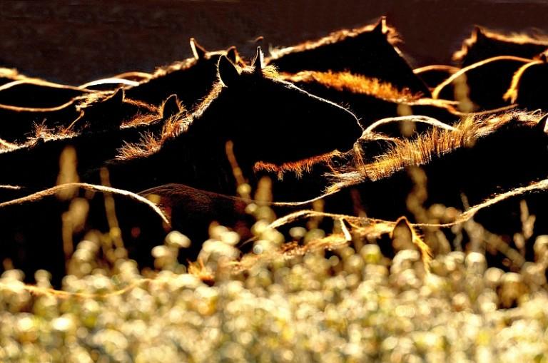 hodowla koni huculskich (4)