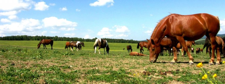 hodowla koni huculskich (7)