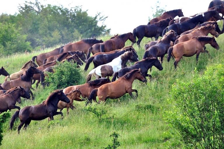 hodowla koni huculskich (1)