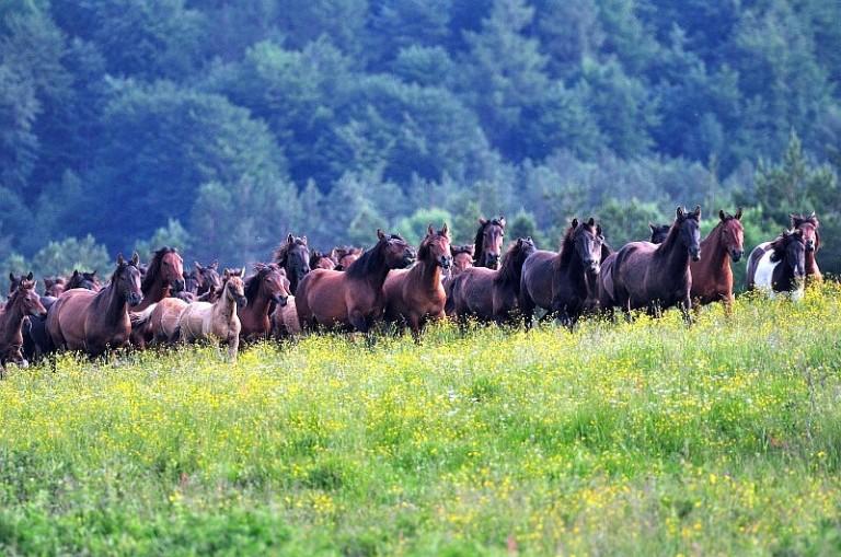 hodowla koni huculskich (2)