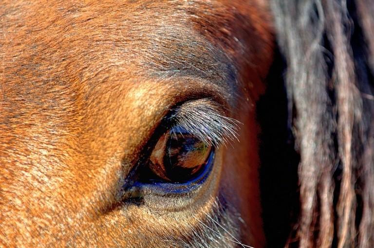 hodowla koni huculskich (6)