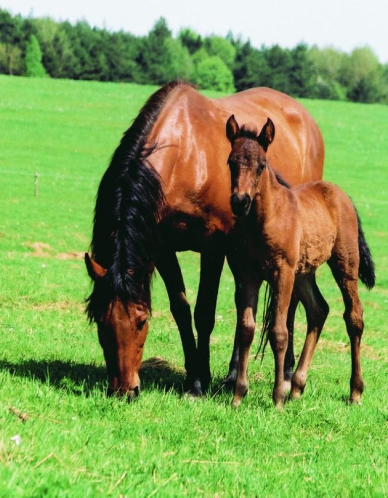 hodowla koni huculskich (10)