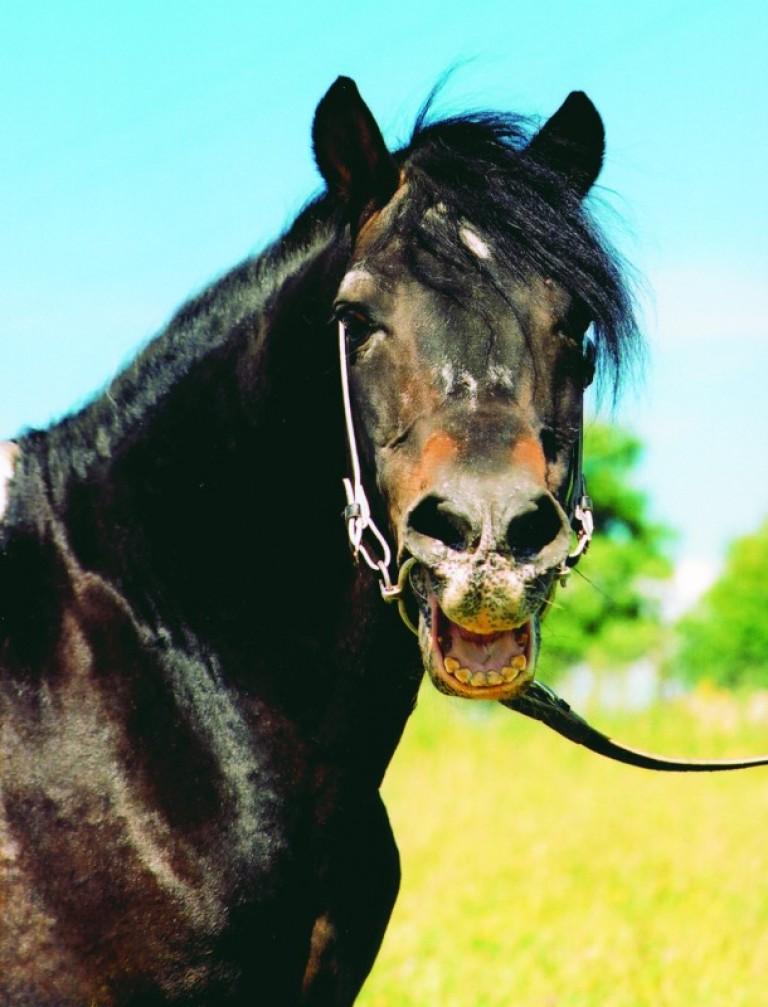 hodowla koni huculskich (9)