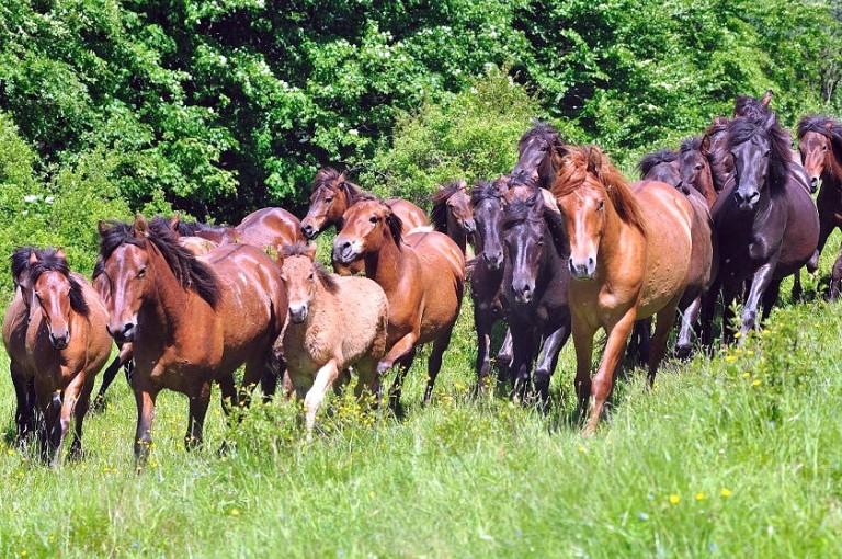 hodowla koni huculskich (3)